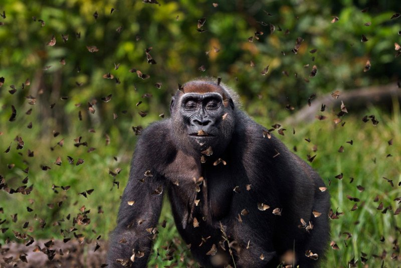 Gorilla Surrounded by Butterflies Wins 2021 Global Photo Contest